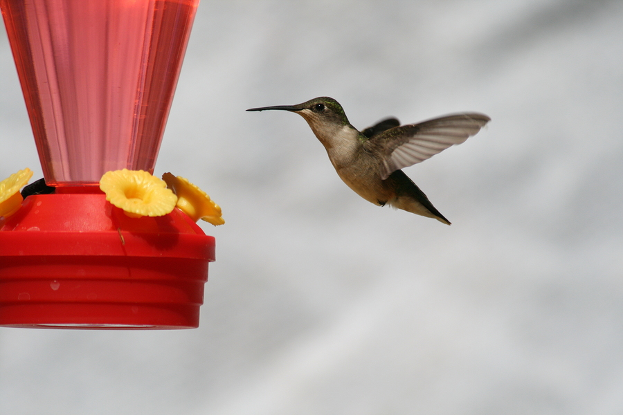 hummingbirds in Pocahontas, AR
